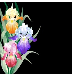 Black holidays card with Iris flowers vector image vector image