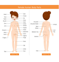 Female human anatomy external organs body vector