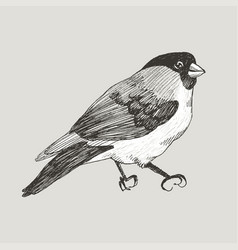 graphic bullfinch hand drawn bird on retro vector image