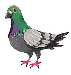 Pigeon with green and gray feather vector