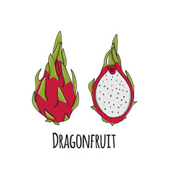 dragonfruit sketch for your design vector image