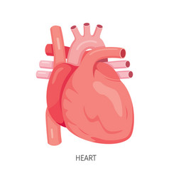 Heart human internal organ diagram vector
