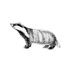 hand drawn badger vector image