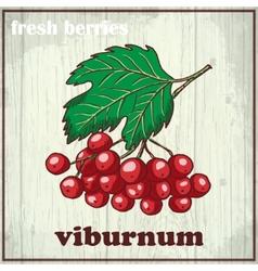 Hand drawing of viburnum Fresh vector image