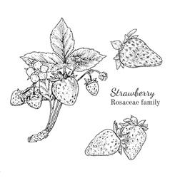Ink strawberry hand drawn sketch vector