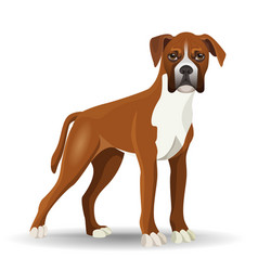 boxer dog full length isolated vector image