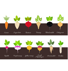 Collection of various growing root vegetables vector