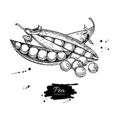 pea hand drawn isolated vector image vector image