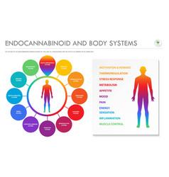 endocannabinoid and body systems horizontal vector image