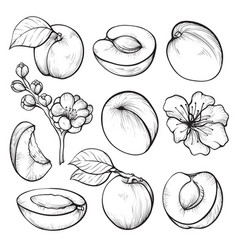 Apricot hand drawn set summer fruit vitamin vector