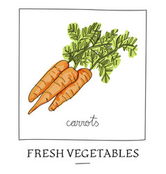 hand drawn of isolated carrot vector image