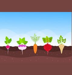 vegetable garden with growing root-crops vector image