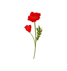 bright red poppy flowers with stem floral design vector image