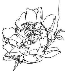 peony flower close-up minimalist vector image