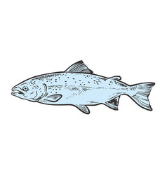 Sketch trout fish underwater animal sea vector