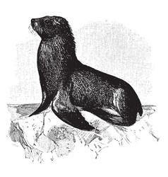Sea lion vintage vector
