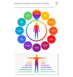endocannabinoid and body systems vertical vector image