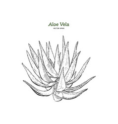 hand drawn botanical aloe vera vector image