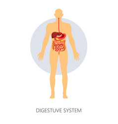 digestive system isolated anatomy intestines vector image