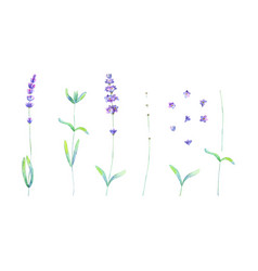 lavender flowers leaves plants purple green vector image