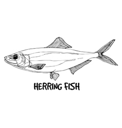Herring fish in lines on white background vector image