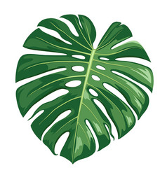 monstera deliciosa leaf realistic design vector image