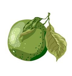 Lime fruit of round shape with leaves on the vector