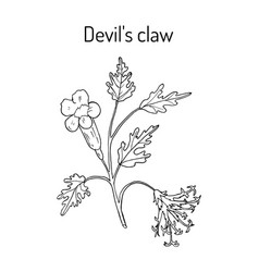 Devil s claw harpagophytum procumbens or grapple vector
