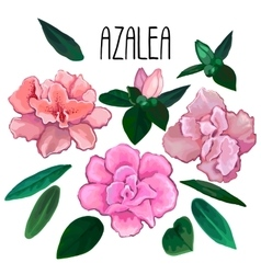 Azalea leaves and flowers collection vector image