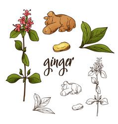 detailed retro image of ginger ink sketch vector image