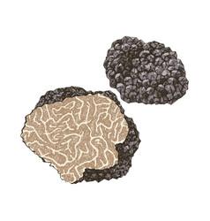 Hand drawn black truffle mushroom vector