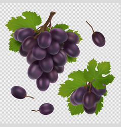 black grape bunch grapes vector image