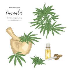 Cannabis sativa or cannabis indica plant vector