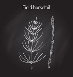 Field horsetail or equisetum arvense vector