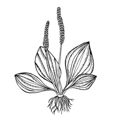 plantain useful plant black outline vector image