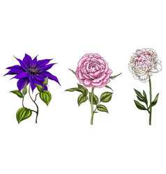 set with peony clematis and rose flowers vector image