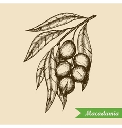 Macadamia nut branch Hand drawn engraved vector image vector image