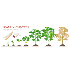 bean plant growth stages infographic elements in vector image