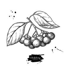 chokeberry drawing hand drawn botanical vector image