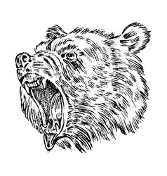 Portrait of grizzly bear head of a wild animal vector