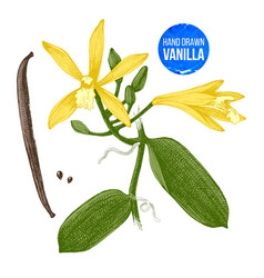 vanilla plant hand drawn botanical vector image vector image