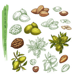 sketch of argan plant or argania houseplantnature vector image