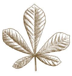 engraving chestnut leaf vector image