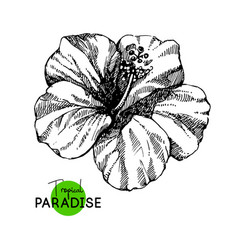 hand drawn sketch tropical paradise plant vector image