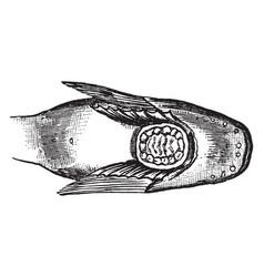 Snailfish sucker between the pectoral fins vector