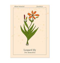 Leopard flower iris domestica or blackberry lily vector