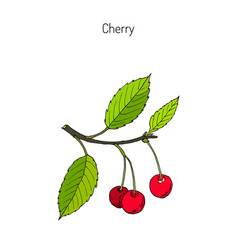 cherry branch with cherries and leaves vector image