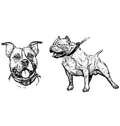 american pitbull terrier vector image