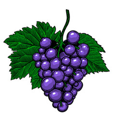 grape branch on white background design element vector image