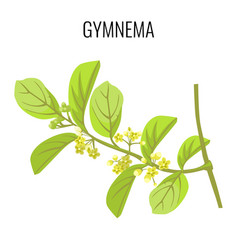Gymnema ayurvedic medicinal herb isolated on white vector